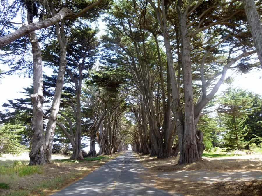 cypress tree tunnel in marin county, california