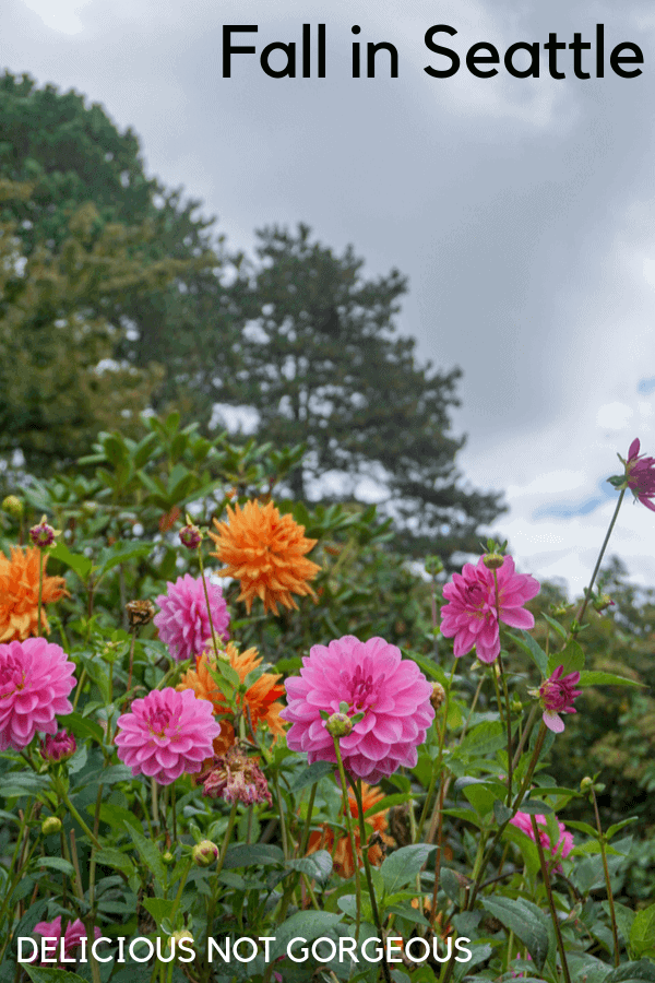 Pink and orange dahlias in bloom in Seattle.