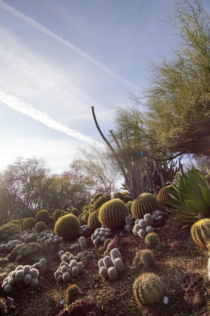 Cacti at the Huntington Library in San Marino, California.